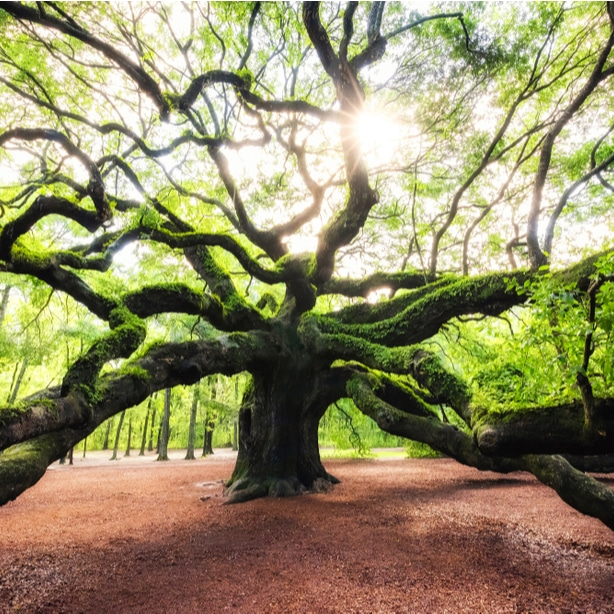 Oak trees have a natural beauty and aesthetic to them.