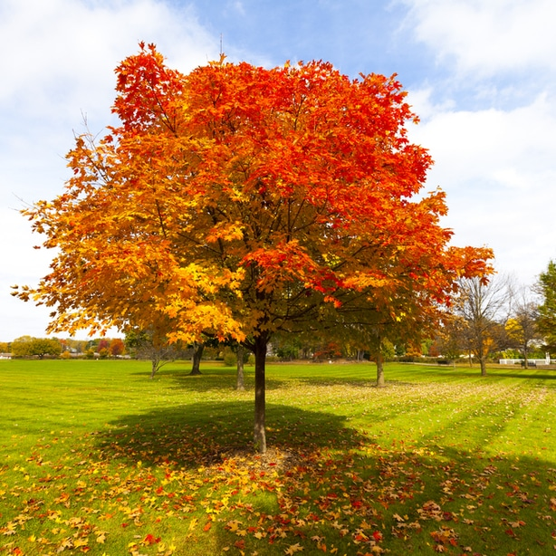 These trees are known for the beautiful foliage.