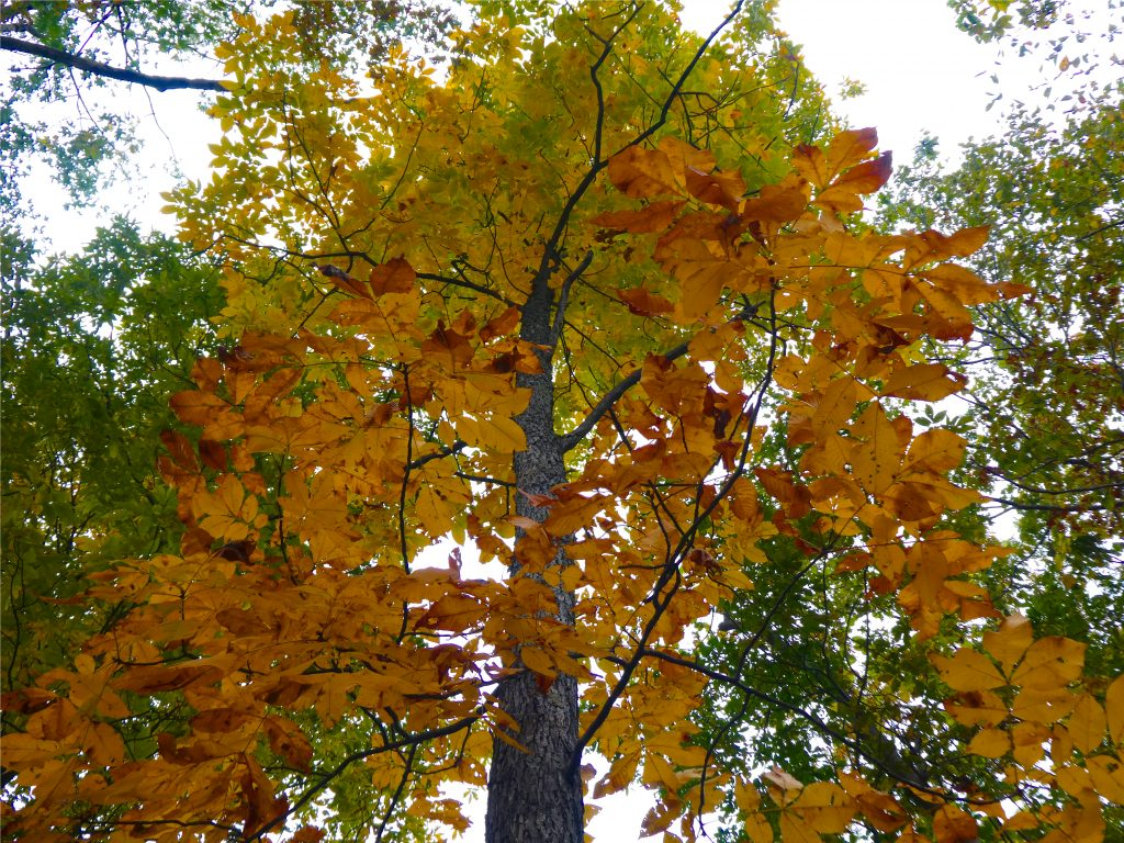 Beautiful foliage of the hickory tree as it changes colors.