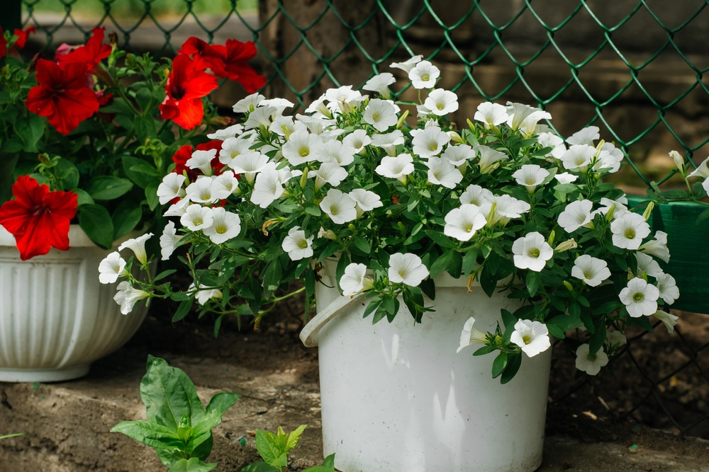 beautiful petunias are a result of hard work and care.