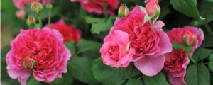 Roses are beautiful if they are maintained and kept healthy