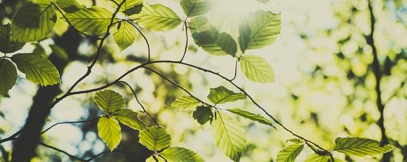 How to Grow Beech Trees