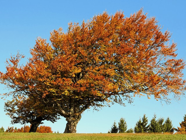 In the fall, beech tree leaves become a beautiful orange and yellow