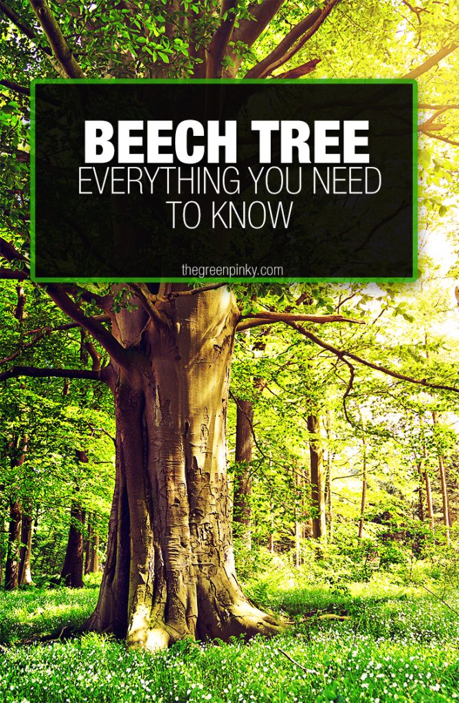 Healthy beech tree in a forest grows healthily because of a care guide