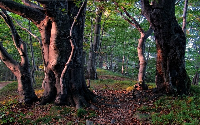 Thick beech tree trunks with their massive roots growing optimally