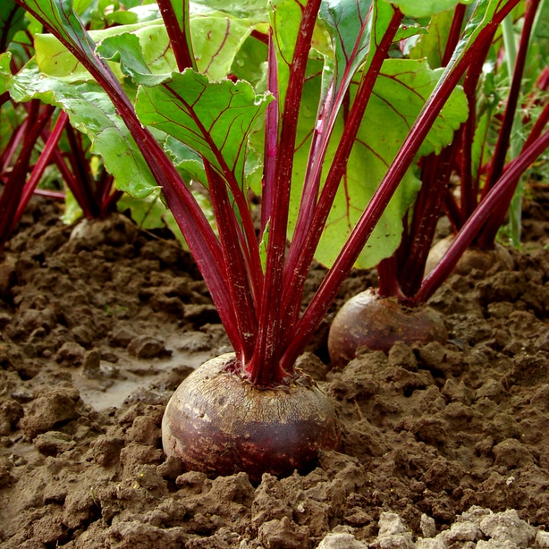 Beets growing robustly with adequate nutrients