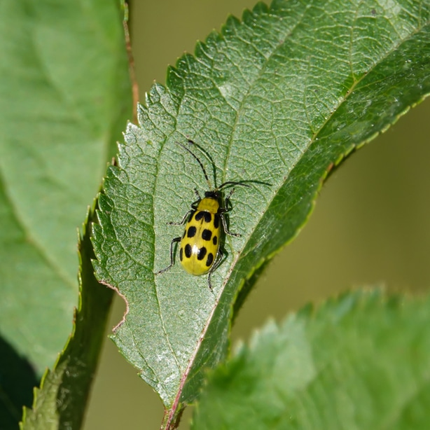 Beetles are yellow with spots or stripes and can feed on the foliage