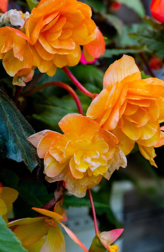 Different cultivars of begonias