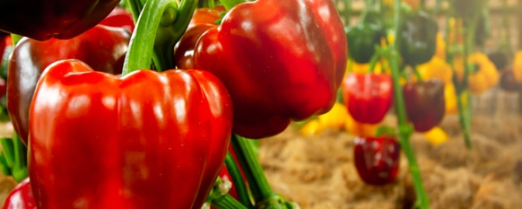 Peppers: How to Grow and Harvest