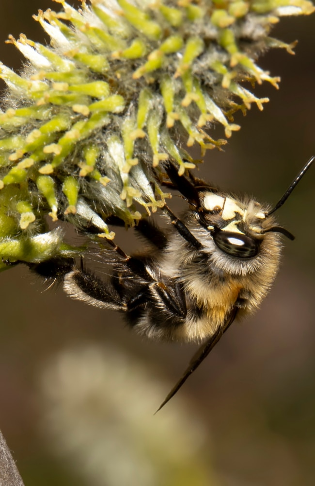 Miner bees are beneficial insects that help pollinate