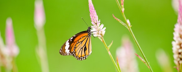 butterflies are pollinators that will help your garden flourish