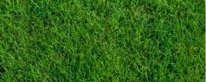 Bermuda grass with lush blades from proper watering