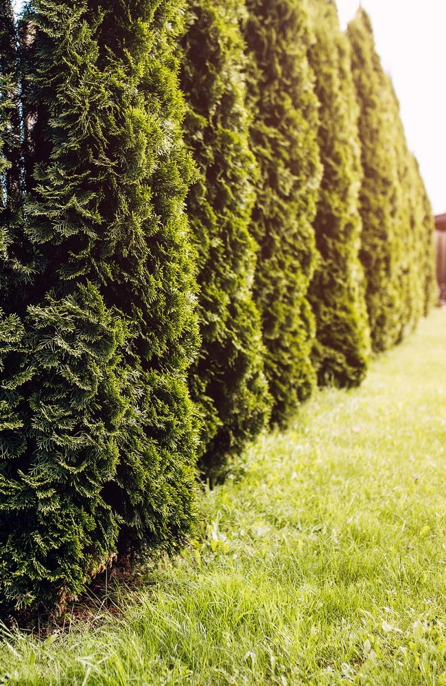 Proper thuja fertilization will let the trees grow optimally