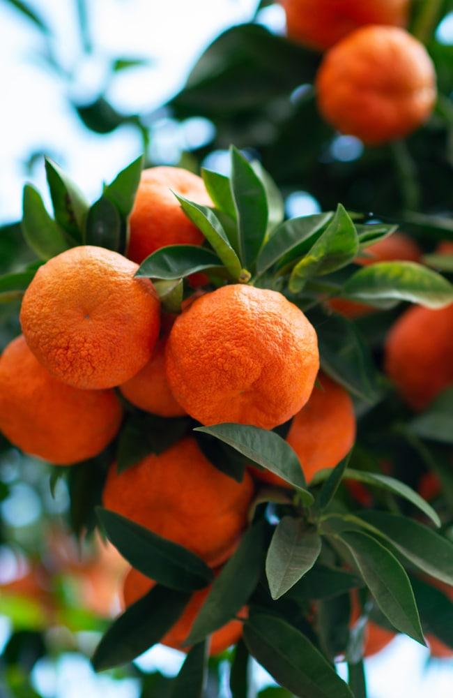 Best fertilizer for orange trees will result in optimal citrus production