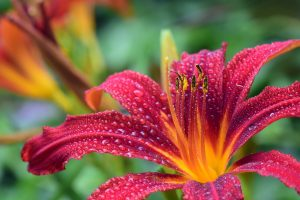 Best fertilizers for daylilies result in good growth