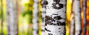 Birch tree growing healthy with proper care and maintenance