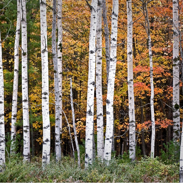 Healthy foliage of birch tree due to a grow guide and adequate sun