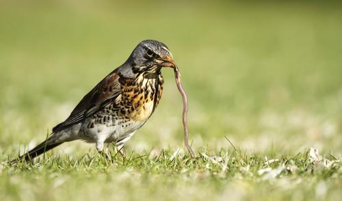 Birds are natural predators for earthworms