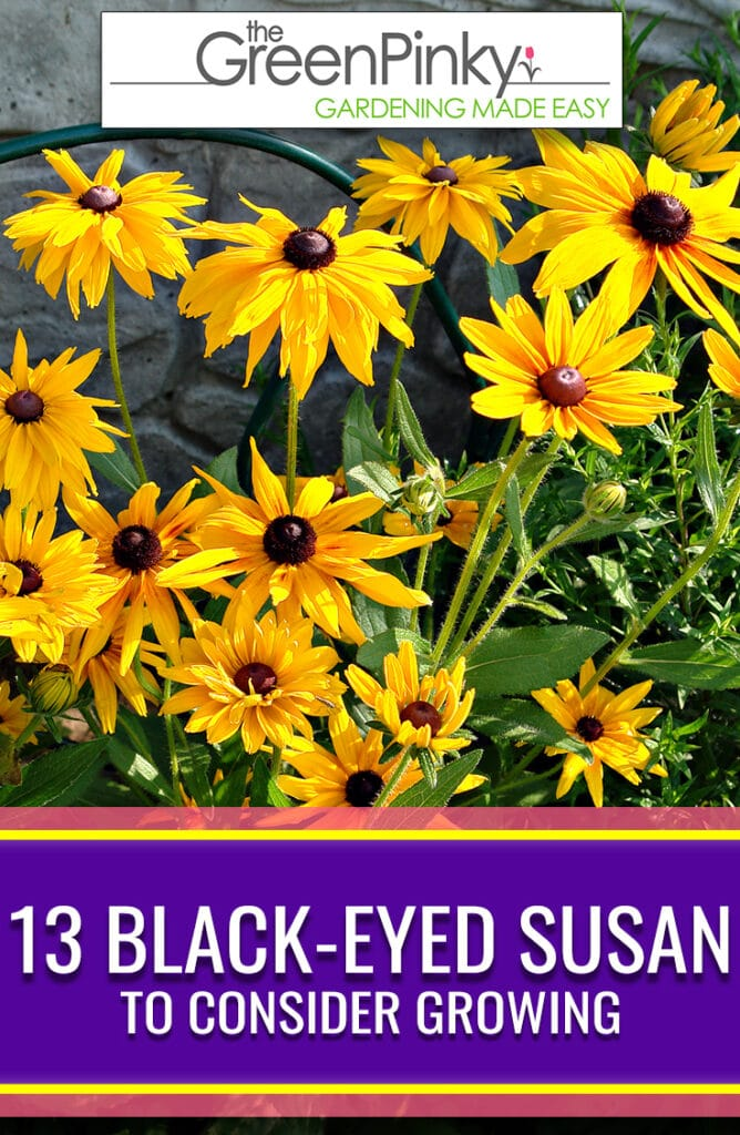13 black eyed susan varieties to consider growing in your own garden