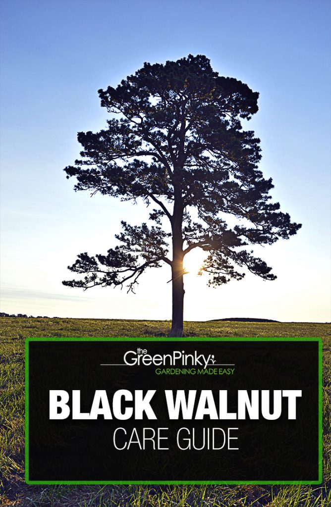 Black walnut trees require proper maintenance and care to grow into splendid trees