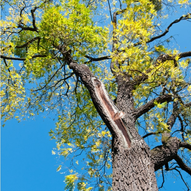 Looking up into the beautiful foliage of a black walnut tree