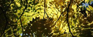 Black walnut tree with sun rays flowing through its dense foliage