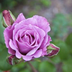 Blue moon has pale lavender petals
