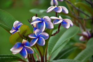 Blue plumeria flowers are not real.