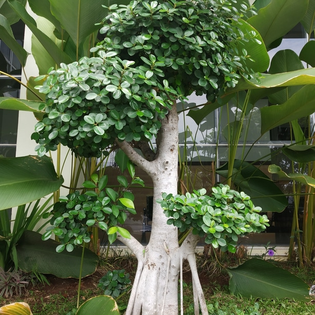 Indian laurel fig trees make great bonsai trees because of their natural beauty.