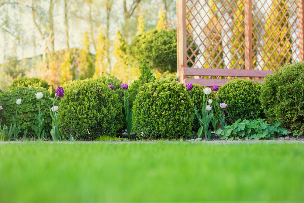 Buxus add a design element in the garden