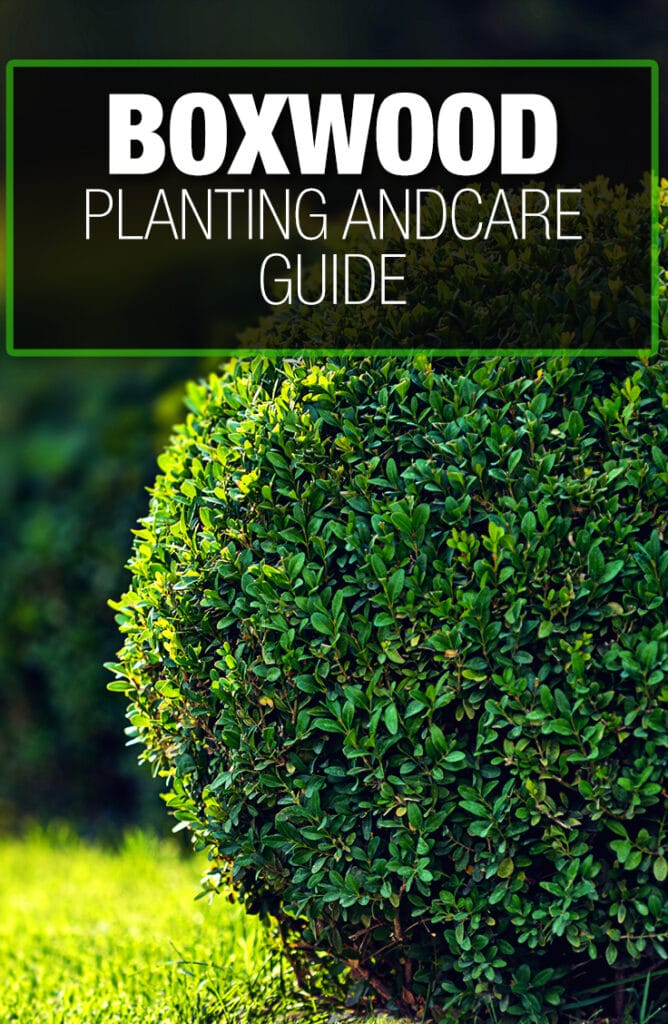 Planting boxwood appropriately frequently requires a guide