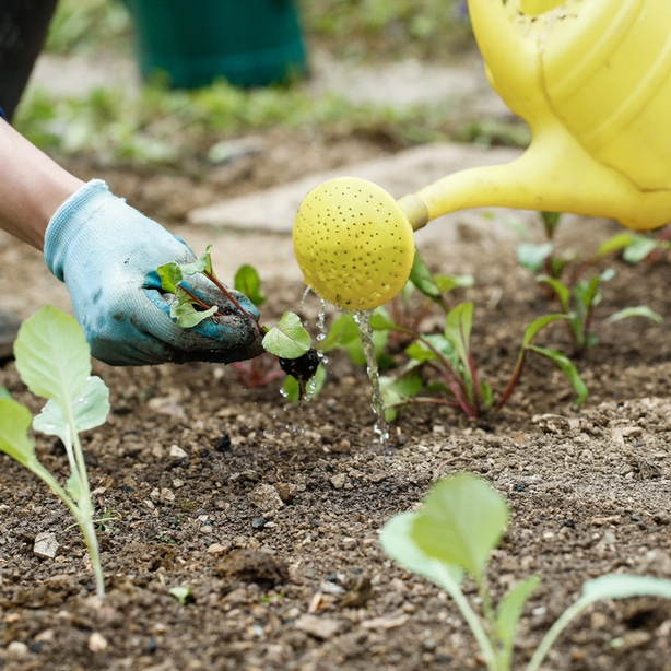 Proper care is needed to have brassica seedlings growing correctly.