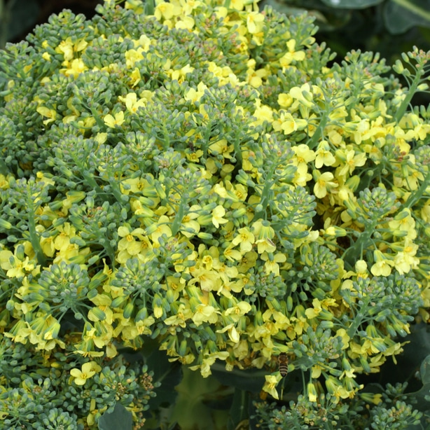 Broccoli grown to the flowering stage.