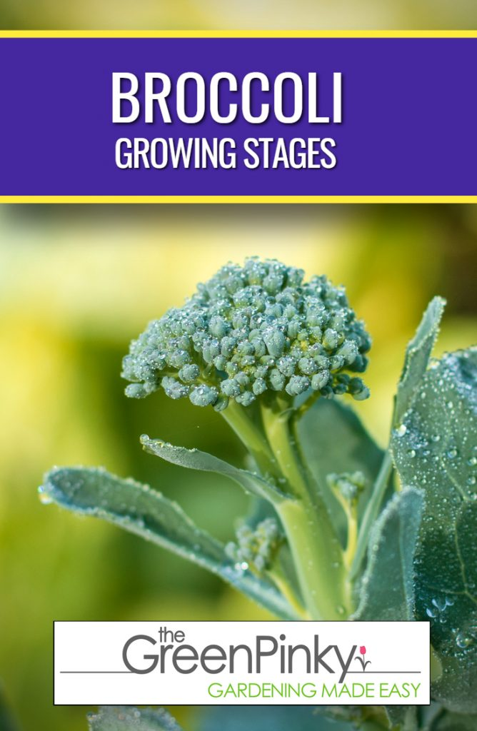 A broccoli developing through its life cycle goes through many stages