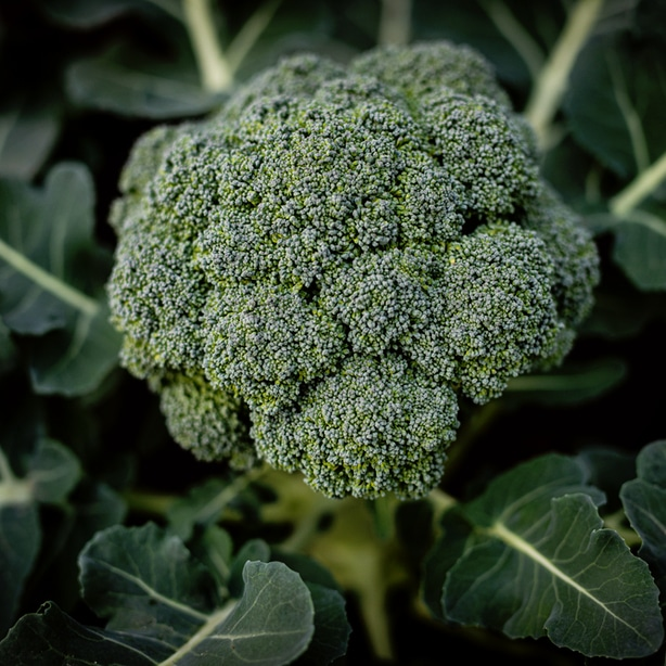 Broccoli with correct fertilizer allows for good growth.