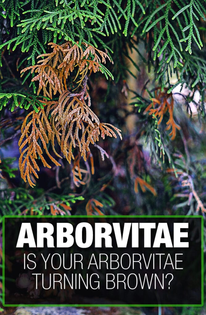 Arborvitae turning brown can be prevented with a maintenance guide.