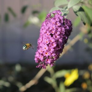 purple buddleia with a bee flying next to it.