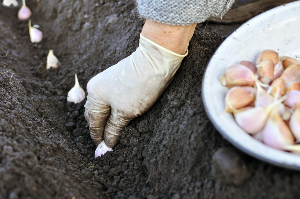Planting garlic bulbs in a soil in a row. There is a hand holding a bulb down into the soil with a bunch of other bulbs in a bowl.