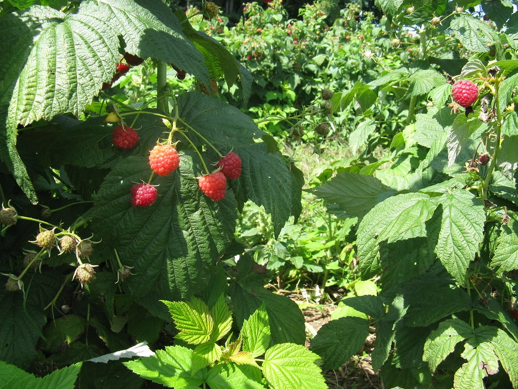 Bushes growing robustly with some berries that are ready to be harvested