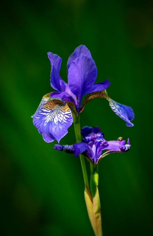 Flight of the butterflies iris siberica