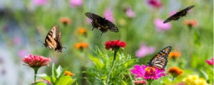Starting a butterfly garden is not difficult with the correct plants
