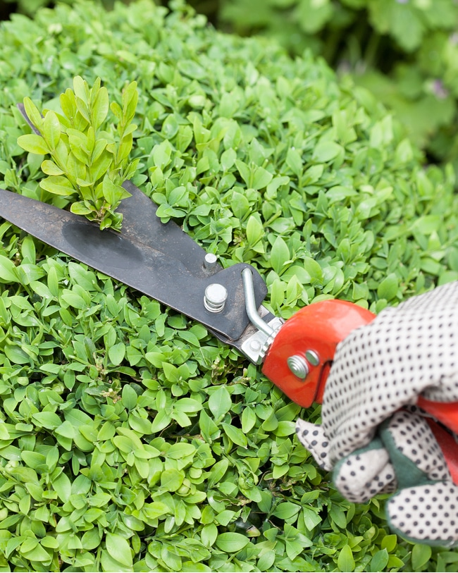 Bypass pruning shears are important for shaping
