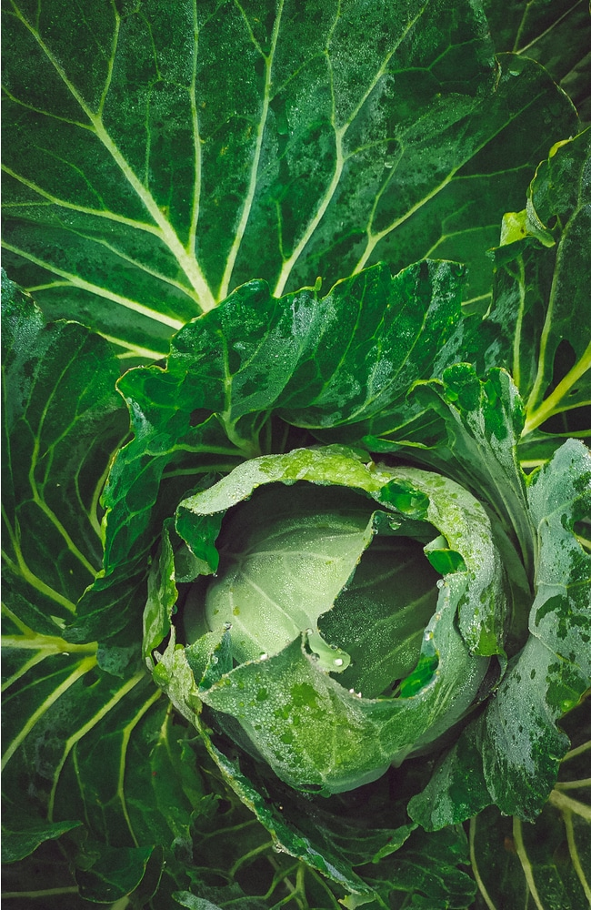 Cabbage require proper water and sun