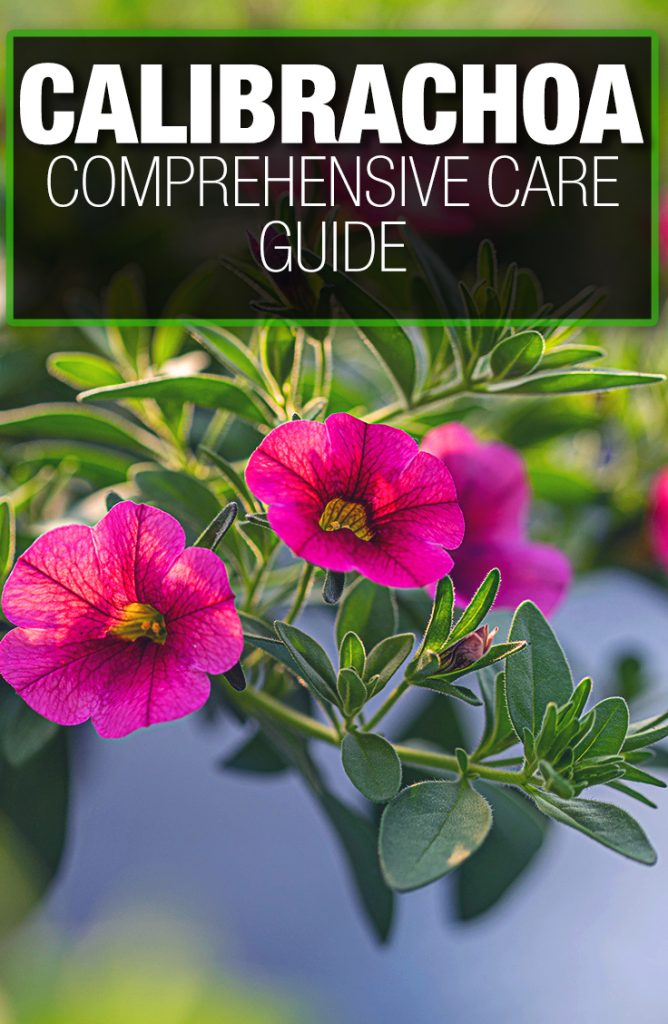 Calibrachoa need proper nutrients through a guide for good care