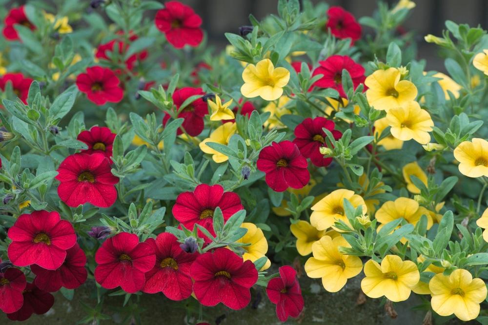 Calibrachoa with proper soil will receive good aeration