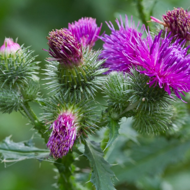 Canada thistle have sharp pointy foliage