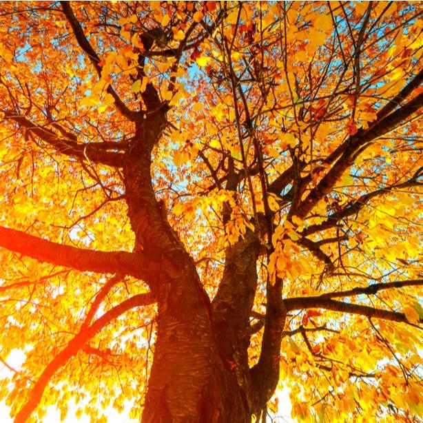 The vast canopy of a beech tree.