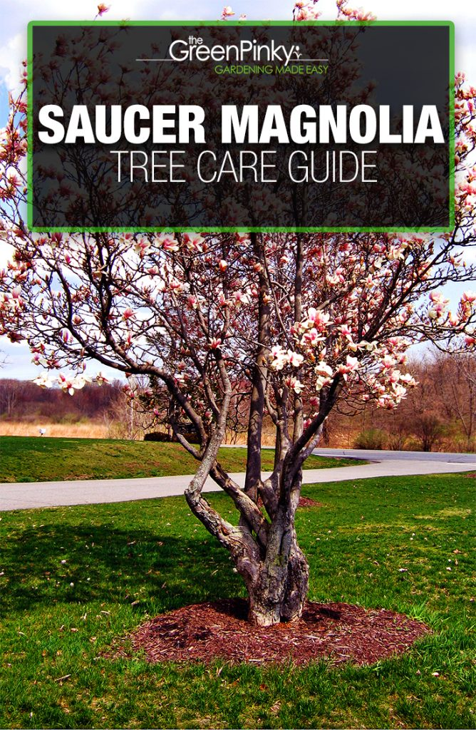Saucer magnolia trees will grow robustly if given the proper amount of care and maintenance.