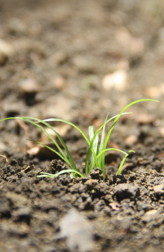 Identify carrot sprouts by looking at their first true leaves