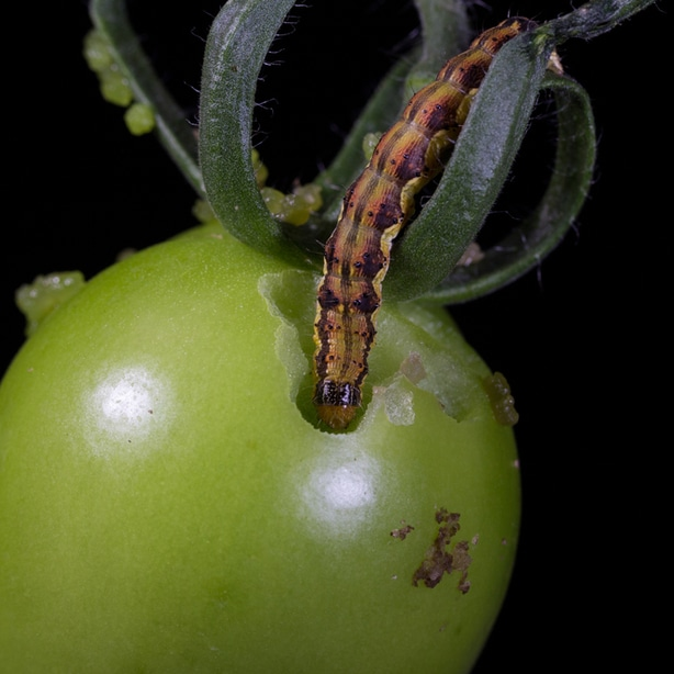 Eating the fruit which will affect the buds of the plant